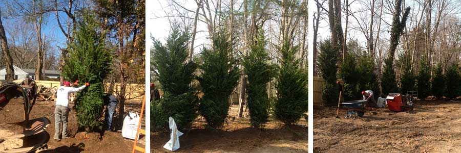 Leyland Cypress Trees from L.I. Elite Lawncare