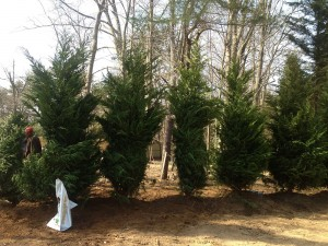 Freshly planted Leyland cypress trees
