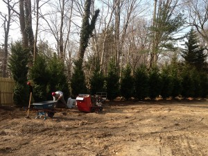 Leyland Cypress Trees planted in landscape redesign