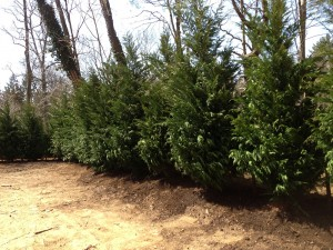 Leyland Cypress Trees installed during landscape design