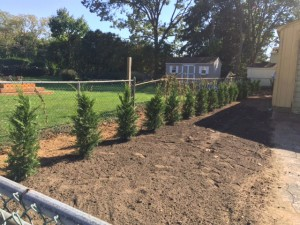 Leyland Cypress Trees planted