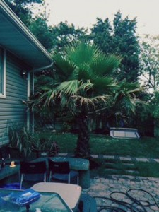 Palm trees installed by Anthony's